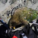 kea checks backpack