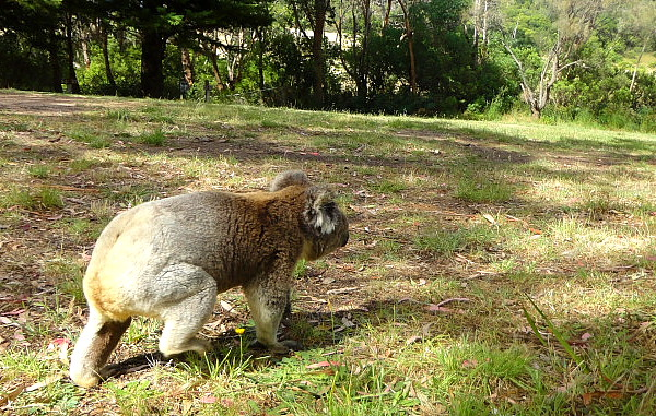 koala on the ground in Bimbi park, Victoria, Australia