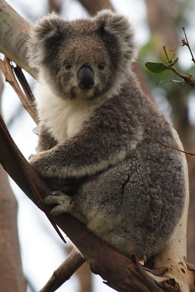 Koala at Great Ocean Road, Australia