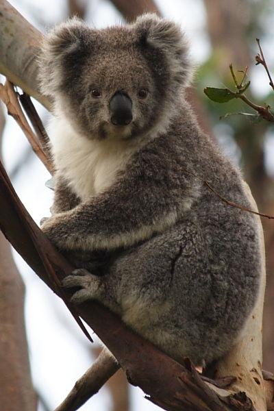 Koala at Great Ocean Road, Australia
