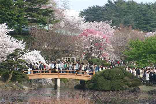 Cherry blossom at Shinjuku Gyoen Garden in Tokyo