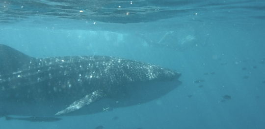 Whale shark at Ningaloo reef, Exmouth, Australia
