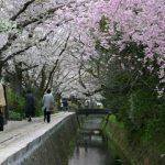 Cherry blossom at Tetsugaku-No-Michi, Philosopher's Path, Kyoto