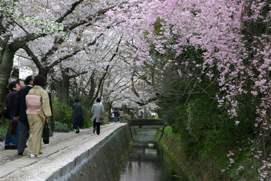Cherry blossom at Tetsugaku-No-Michi, Philosopher's Path, Kyoto