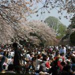 Cherry blossom at Shinjuku Gyoen Garden, Tokyo
