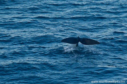 Whale tail seen from South Head in Sydney