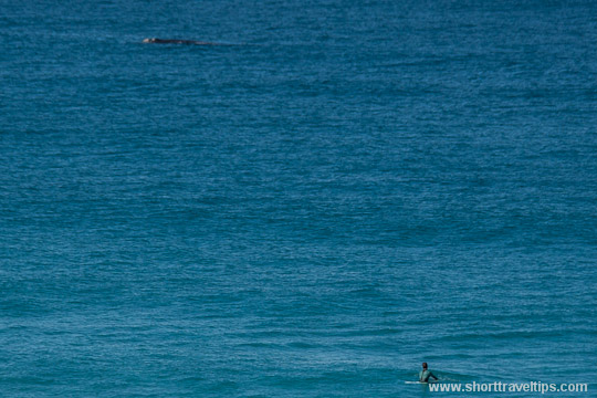 Humpback whale and surfer at Bondi beach in Sydney, Australia