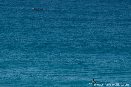 Humpback whale and surfer at Bondi beach in Sydney, Australia