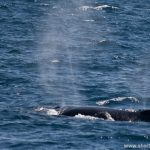 Humpback whale near Sydney