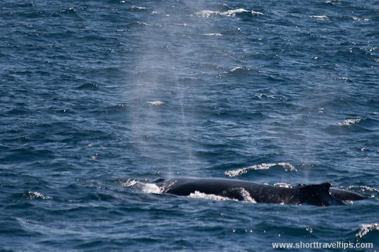 Humpback whale near Sydney