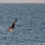 humpback whale at Byron bay, Australia