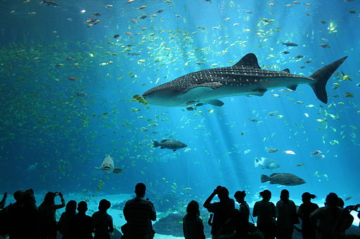 Top 5 largest aquariums in the world to see whale sharks