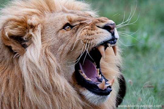 Lion at Kwantu game reserve in South Africa