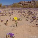 Spring flowers Wadi Rum Desert in Jordan