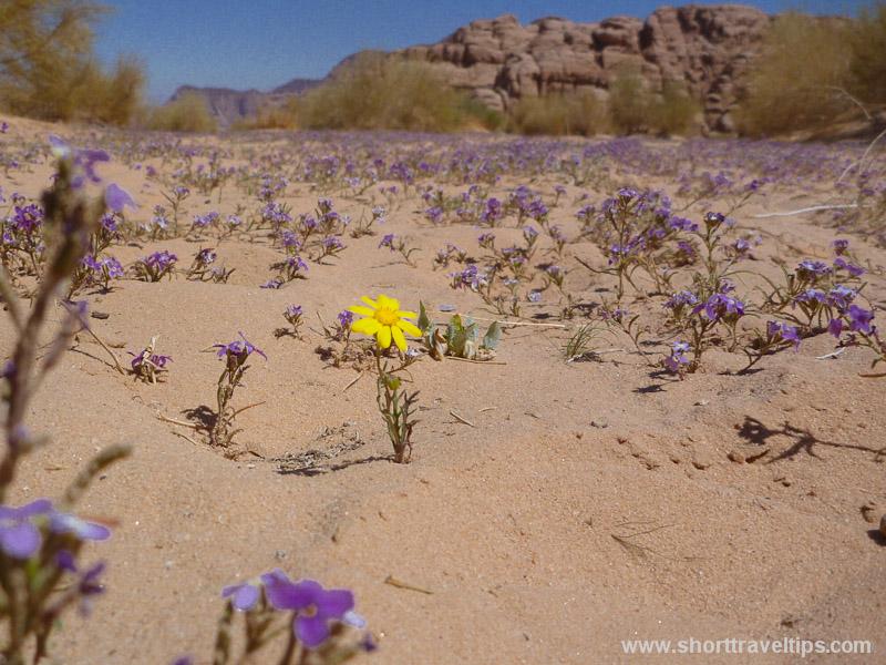 Spring flowers at Wadi Rum Desert in Jordan