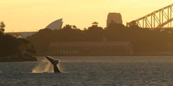 Whale watching Sydney. Best time and places for whale watch in Sydney, Sydney's whale watching tour price comparison, humpback whale sightings charts.