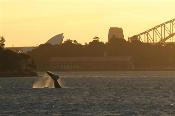 Southern Right whale in Sydney harbour, July 2012