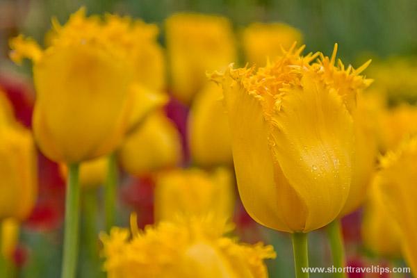 Tulipa Hamilton