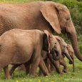 Addo Elephant National Park is the best place in South Africa if you want to see elephants. Currently there are over 500 elephants in the park and you definitely will see a lot of them by driving around the park.