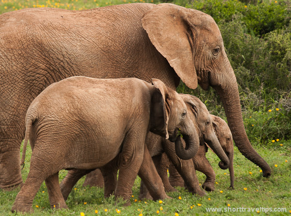 Elephants at Addo National park in South Africa