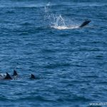 Dolphins at Ningaloo Reef, Exmouth, Western Australia