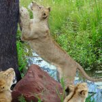 Lions scratching post