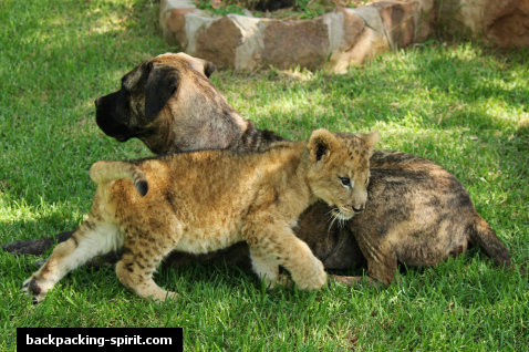 Baby lion with dog