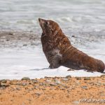 Sea Lion at Bushy Beach
