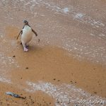 Yellow Eyed Penguin at Bushy Beach